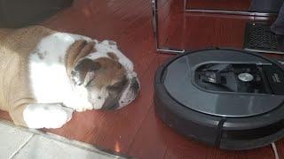Roomba attacks English Bulldog!  WARNING extreme laziness.