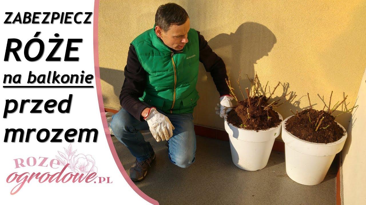 Róże Na Balkonie Zimą Zabezpieczanie Róż Przed Mrozem