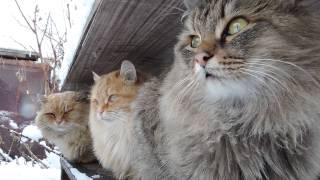 Siberian farm cats, Snowfall,Сибирские кошки, Снегопад,Tyoma, Solnyshko (Sunny), Pooh ,