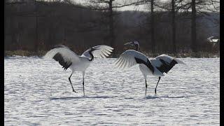 タンチョウ一斉に舞う 本気の求愛は美しく、そして圧巻!Japanese crane dancing at once