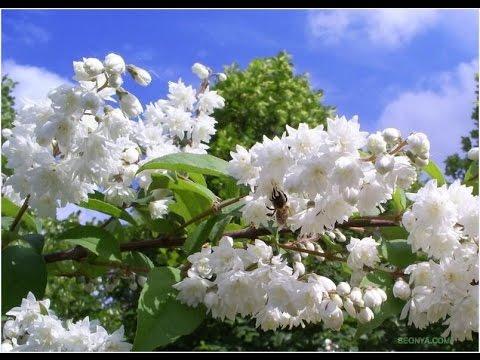 Великолепно цветущие кустарники