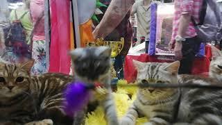 """Британский котенок Portland MeowClub *BY, BRI ns на выставке кошек """"Кошарики"""", Москва, Сокольники"""