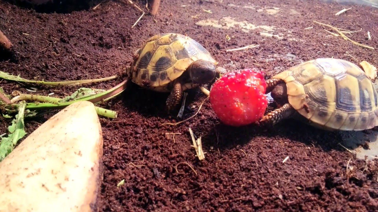 eating and tortoise Tortoise forum is a community of pet tortoise enthusiasts we aim to provide a free resource to tortoise keepers around the world on these pages you will find discussions on any and all topics relating to pet tortoises (and even turtles.