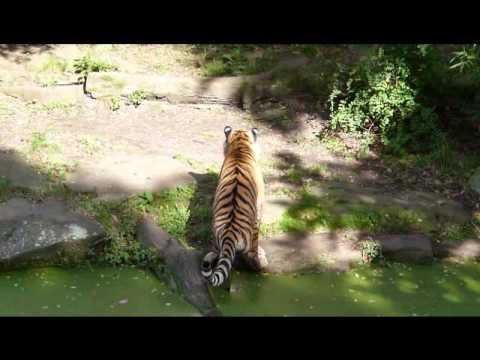 Tiger Toilet Accessoires : Tigertoilette tiger toilet tiger macht in die dinkel youtube