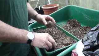 Start off begonia tubers in the greenhouse - Tims Tips from Directbulbs