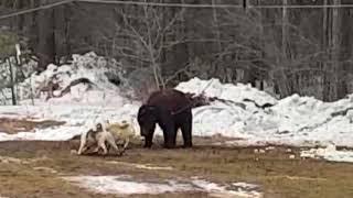 Испытания ЗСЛ по подсадному медведю. Западносибирская Лайка. Полевые испытания и тренировка.