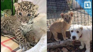 Маленький леопард знакомится с собакой, львом и тигром