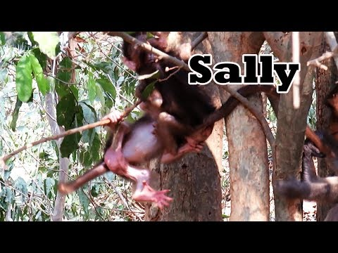Very Beautiful Baby, Sally Nearly Falls Down From Tree Because of Other Monkey | Adorable Wildlife