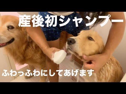 【滝汗】ゴールデン成犬二頭をいっぺんに洗います I try to wash couple of my big dog one time