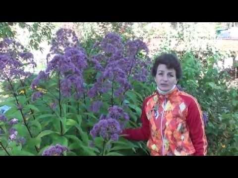 """Неприхотливые растения для сада Посконник. Сайт """"Садовый мир"""""""
