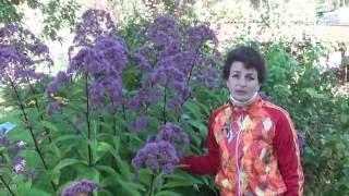 видео Какие неприхотливые сорта хризантем посадить