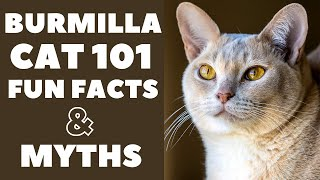 Burmilla Cats 101 : Fun Facts & Myths