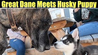 Brindle Great Dane meets Siberian Husky Puppy at Micro Brewery