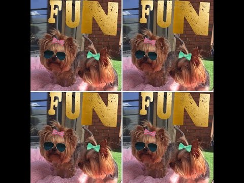 Cutest Yorkies Having Fun