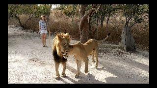 Сенегал / Мангровые заросли / Прогулка со львами