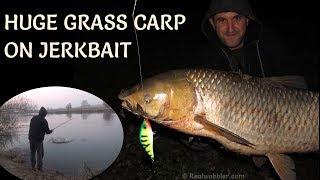 Huge Grass Carp Bites on Jerkbait/ Grosser Graskarpfen auf Jerkbait - Livebiss/ Голям Aмур на Джърк