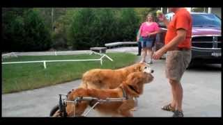 Shot & Left For Dead, Paralyzed Golden Retriever Lives Life To The Fullest
