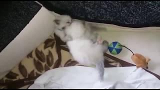 Священная Бирма (котята)