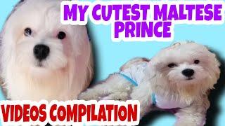 MY MALTESE DOG PUPPIES COMPILATION VIDEOS#MALTESE