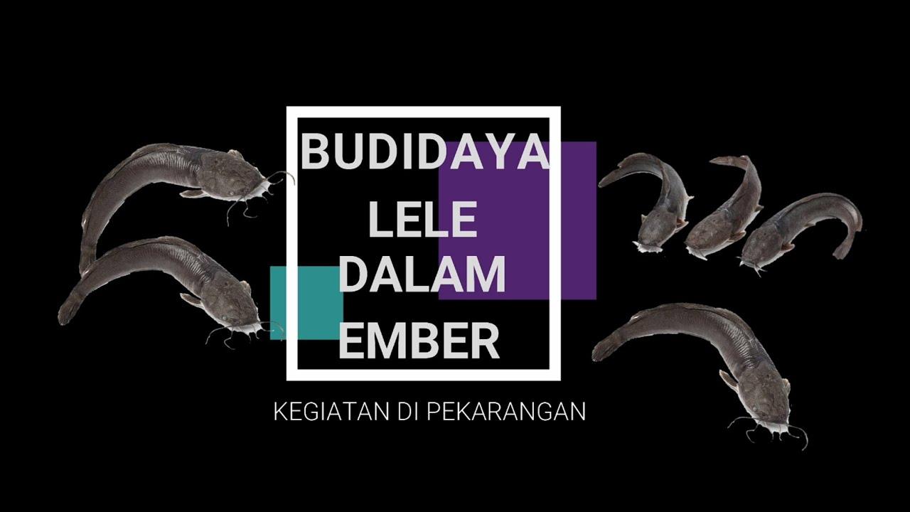 Budidaya Ikan Lele dalam Ember - YouTube