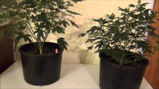 Chemdawg from Humboldt Seed Organization - WW Veg Report 09172013