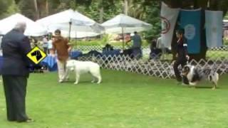 """""""perros En Acción"""" Kennel Club De Chile"""