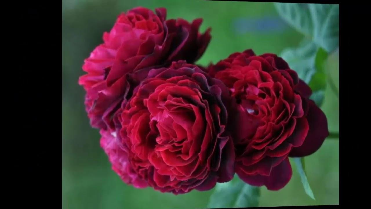 6 окт 2011. Многие покупают канадские розы, надеясь, что они будут красивыми, как чайно-гибридные, пышными, как английские, и морозостойкими, как шиповник. И что можно будет увить беседку розами и на зиму не снимать их с опор. Этого и правда можно добиться, если.