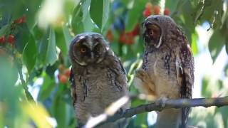 Young owls show off intriguing dancing on a cherry tree
