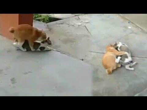 Kucing Kawin Doovi