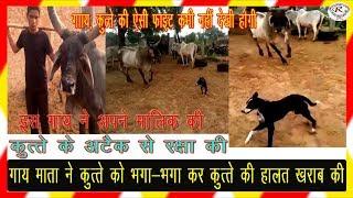 इस गाय ने अपने मालिक की रक्षा कुत्ते से कैसे की देखिए अद्भुत दृश्य, Cow rescues its owner from dog
