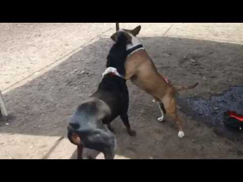 Doberman Destroys Bull Terrier!!