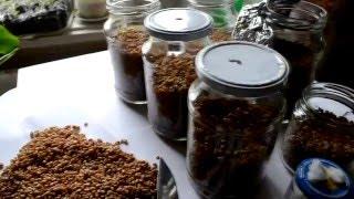 Как сделать мицелий.зерновой мицелий. вешенка, шампиньоны.