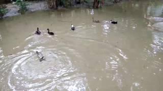 funny pond duck in 60 seconds : দেশি হাঁসের জলকেলি