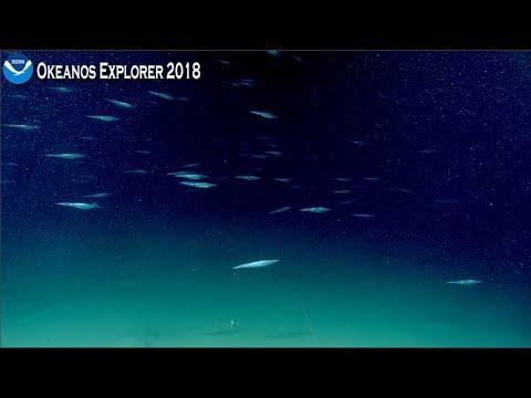 Okeanos Explorer Video Bite: School Of Squid