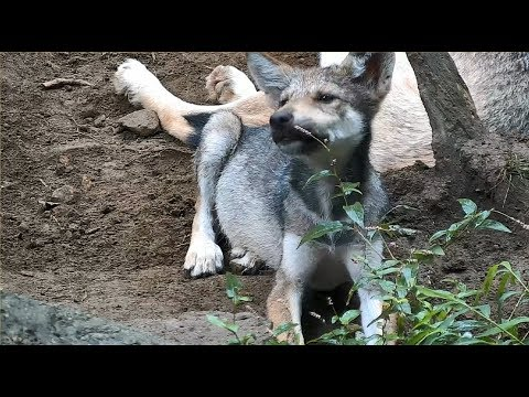 Mexican Gray Wolf Pup vs. Flower