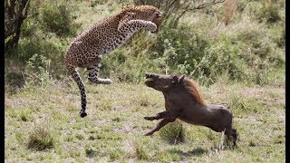 Attacks and animal fights! Attacks of lions, leopards, cheetahs and hyenas in the wild