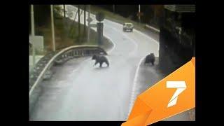 Участились случаи нападения медведей на красноярцев