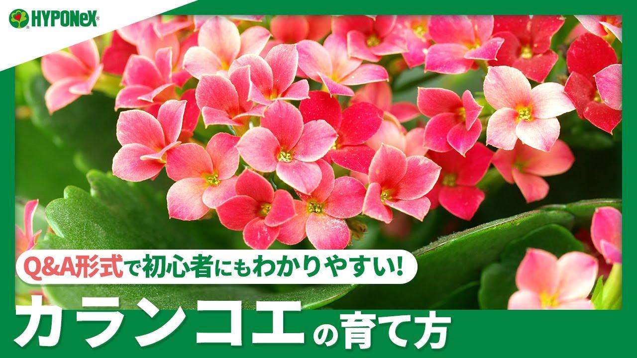 ☘78:カランコエの育て方|花を咲かせるコツは?水やりなどの日々の管理、冬越しの方法などご紹介【PlantiaQ&A】植物の情報、育て方をQ&A形式でご紹介