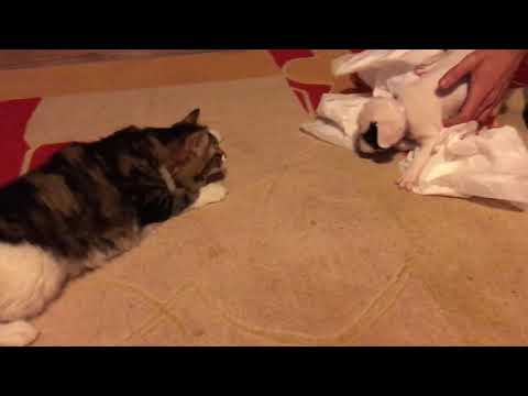 Blues meets R2 (puppy meets the cat for the first time)