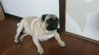 パグ犬ムゥに星形サングラスをかけようとする動画です。なかなかかけさ...