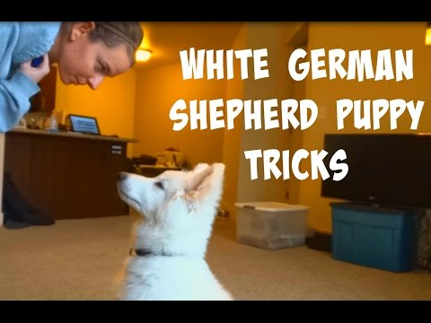 WHITE GERMAN SHEPHERD PUPPY TRICKS