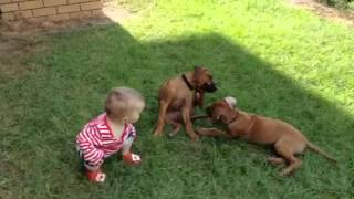 Tp005607348 Rhodesian Ridgeback Puppies