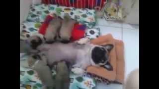 Perros Pugs Bebe (babies Pug Dog Breed)