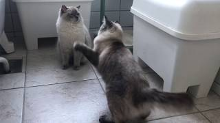 Ragdolls mating, cat courtship