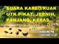 Suara Kareo Ruak Untuk Pikat Jernih  Mp3 - Mp4 Download