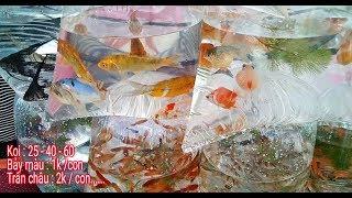 Mua Cá Koi Giá Sỉ Đủ Loại Giá Chỉ Từ 25.000đ | Cá đẹp giá rẻ chọn thoải mái | Cầu Kênh Tẻ Q7 | TNCS