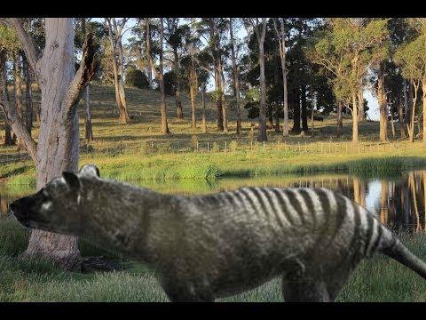 Tasmanian Tiger Remains Discovered In Northern Tasmania Thylacine