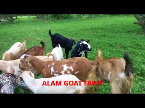Fresh Goat Meat in Lucknow at Alam Goat Farm