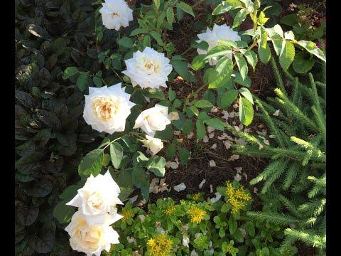 Белые розы. Сорт Кристалл. Загородная жизнь.