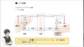 コリ回路は、 急激な運動時に筋肉へグルコースを供給する。 (○or×)